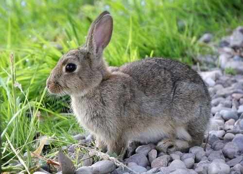 hare rabbit animal