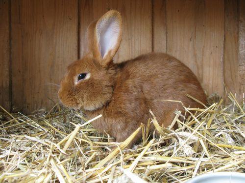 hare animal rabbit