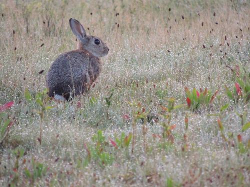 hare animal nature