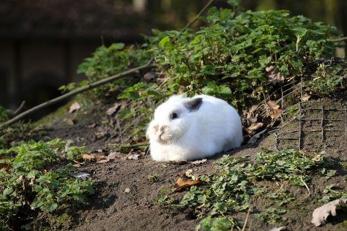 hare rabbit wild rabbit
