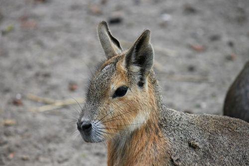 hare hasenkopf rabbit ears