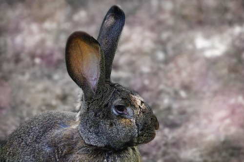 hare  long eared  rodent