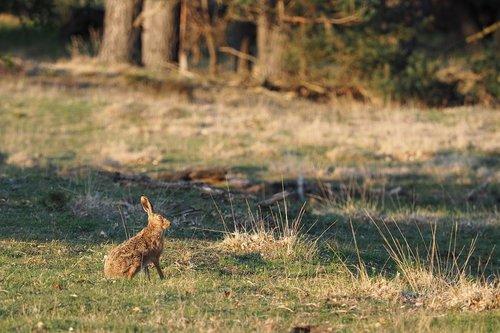 hare  wild  nature