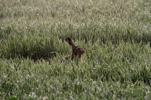 hare morgentau daybreak