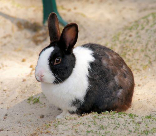 kiškis,mažas kiškis,gyvūnas,pavasaris,naminis gyvūnėlis,mielas,ilgai ausis,saldus,kailis,nager