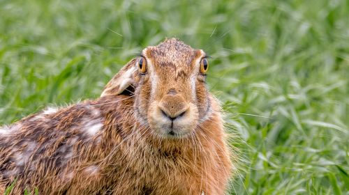 hare field hare mammal