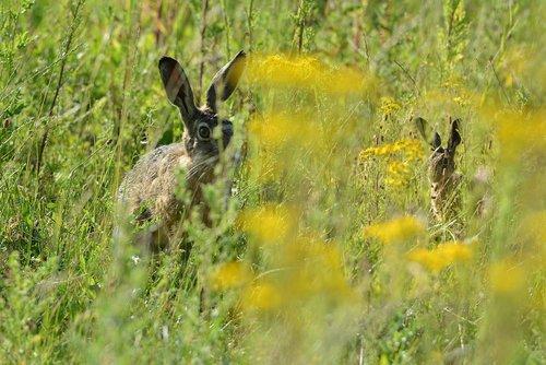 hares  pasture  hide