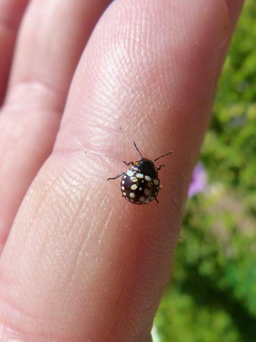 harlequin ladybird coccinellidae coleoptera