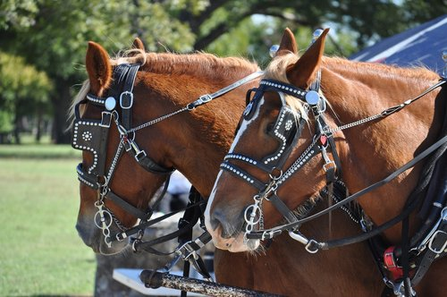 harness  horse  cart