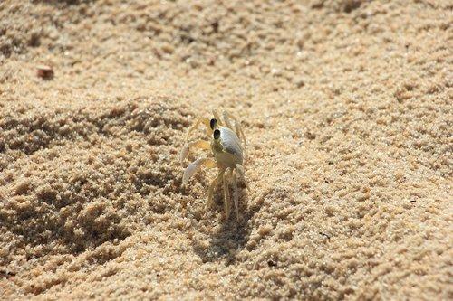 harness  crab  animal