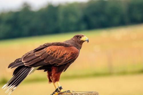 harris hawk bird