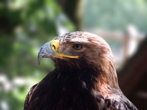 harris hawk raptors bird