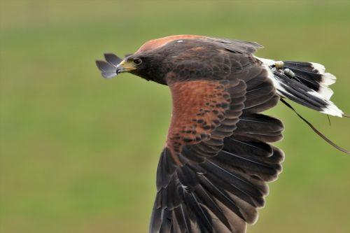 harris hawk falconry harris