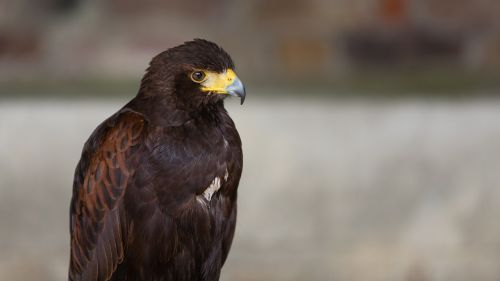 harris hawk bird of prey hawk