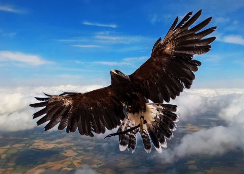 harris hawk bird clouds