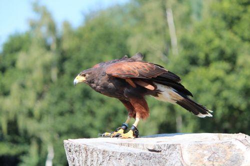 harris hawk buzzard raptor