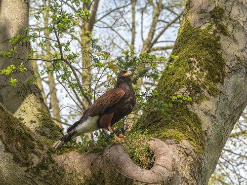 harris hawk  hawk  bird