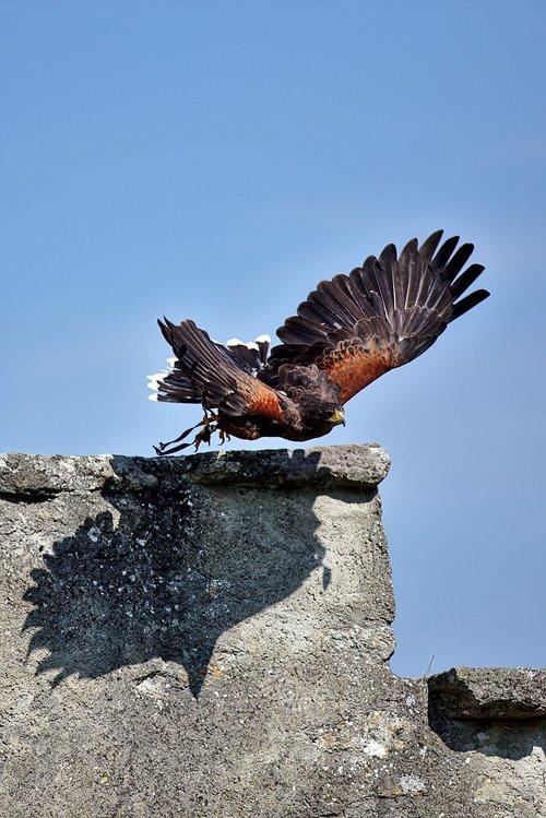 harris hawk  raptor  falconry