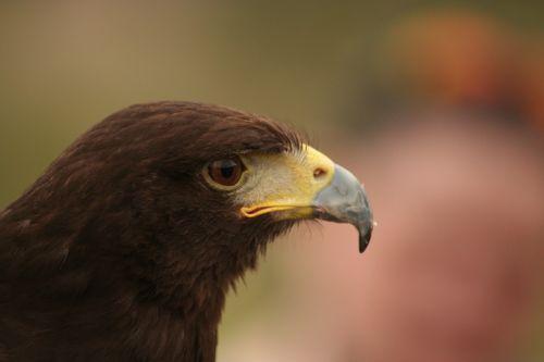 harris hawk raptor bird