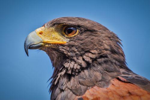 harris hawk parabuteo unicinctus bird