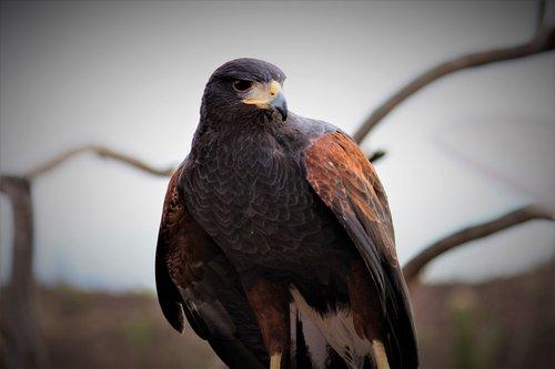 harris's hawk  bird  raptor