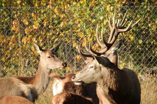 hart doe antlers