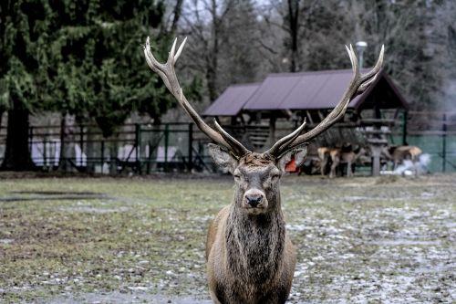 hart horns antlers