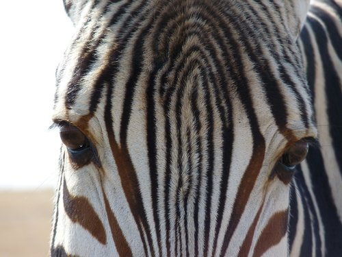 hartmann's  mountain zebra  zebra