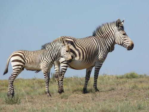 hartmann's  zebra  bergzbra