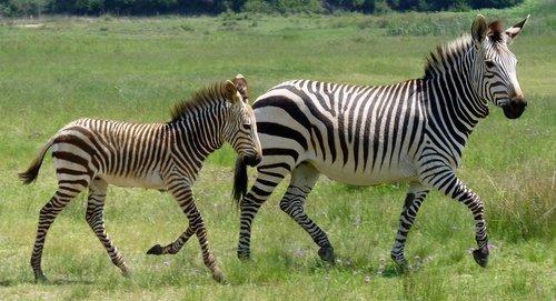 hartmann's  zebra  mountain zebra