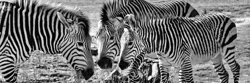 hartmann's  zebras  mountain zebras