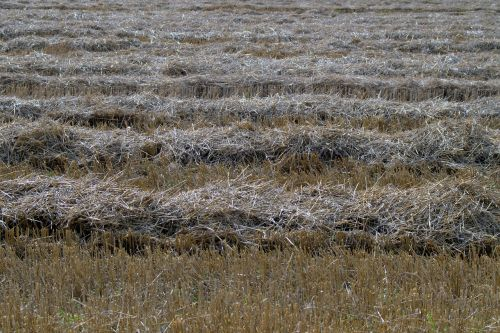 harvest straw stubble