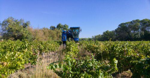 harvest grape harvesting machine vine