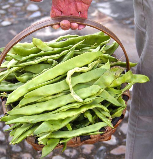 harvest beans organic