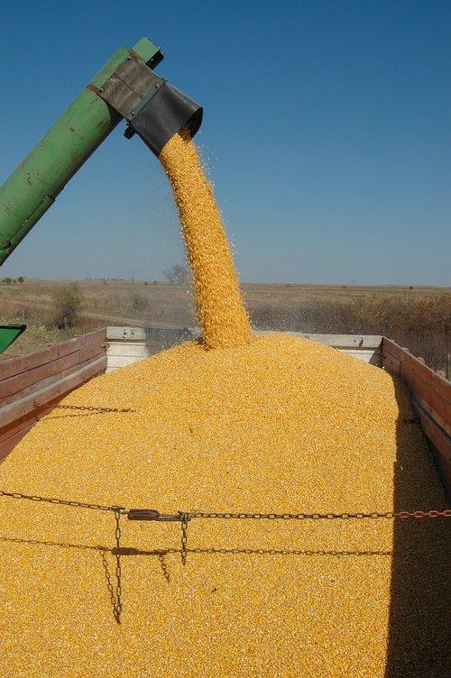harvest  corn  fall