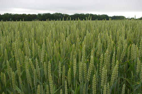 harvest barley go