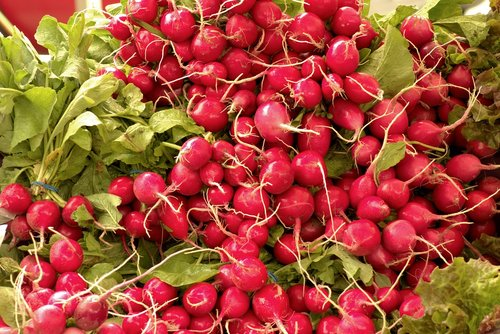 harvested fresh radishes  fresh radishes  radishes