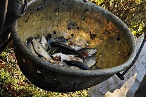 harvesting scales fish