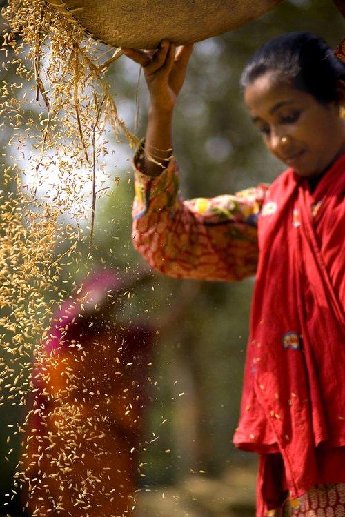 harvesting  village  women