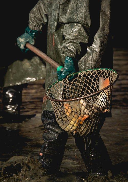 harvesting  pond  fish