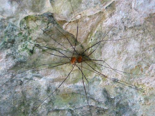 harvestmen species arachnid