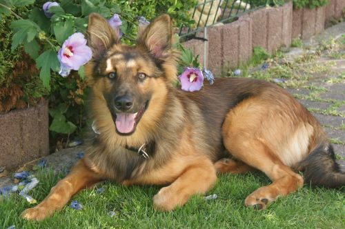 harzer fuchs hundeportrait