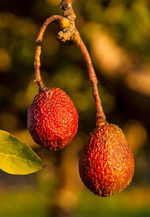 hass avocado avocados fruit