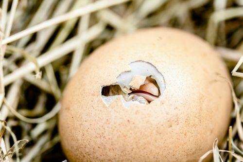 hatching chicks egg shell break bill