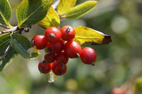 haw red fruits