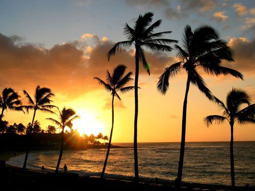 hawaii tropical palm tree