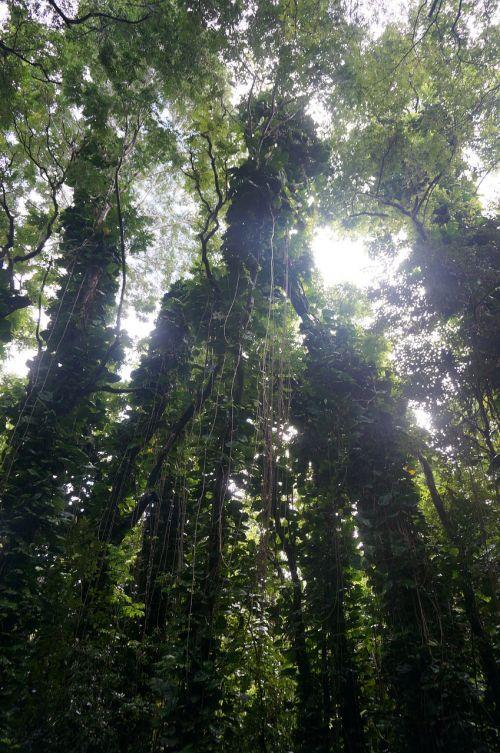 hawaii tropical rainforest
