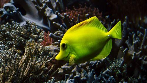 hawaii doctor fish coral sea water