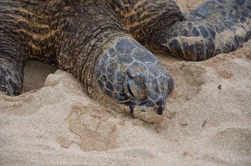hawaiian turtle  marine  wildlife