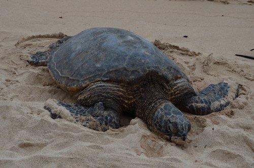hawaiian turtle full  marine  wildlife
